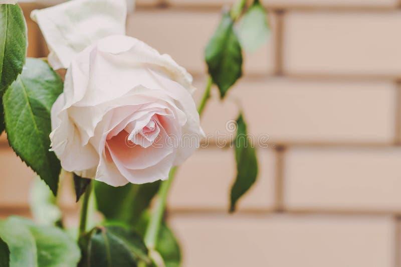 Rozen en bloemblaadjesbloemen op verschillende achtergronden royalty-vrije stock afbeeldingen