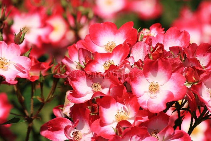 Rozen in roze, rood en wit in een park royalty-vrije stock afbeelding
