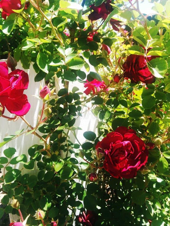 Download Rozen in tuin stock afbeelding. Afbeelding bestaande uit bloem - 54076145