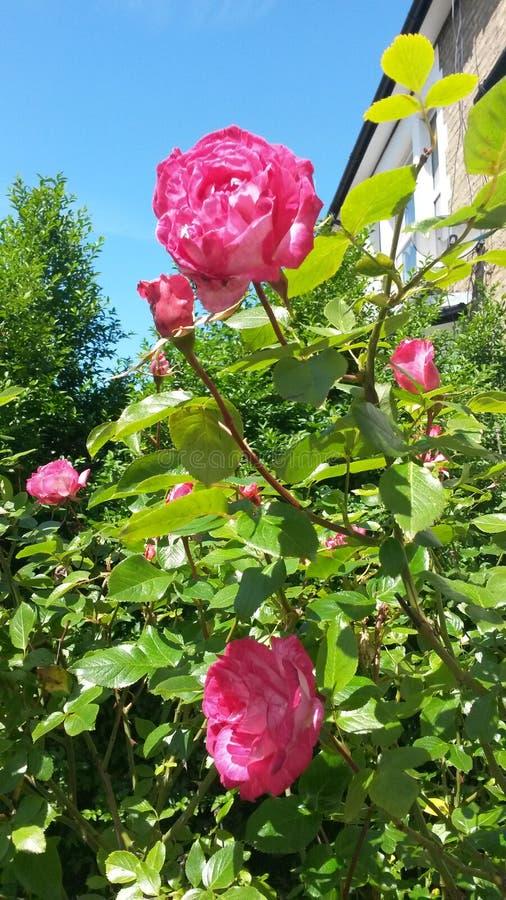 Rozen in tuin stock fotografie