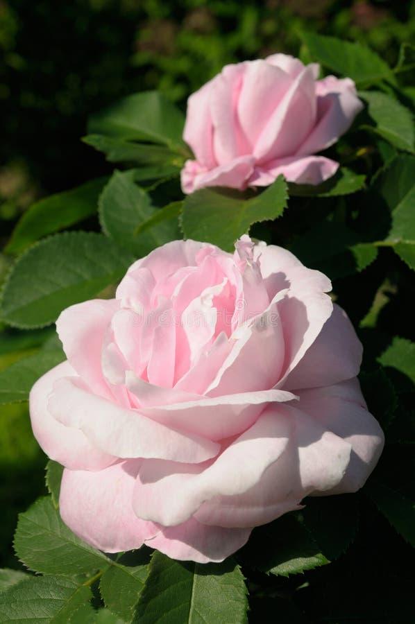 Rozen in tuin royalty-vrije stock afbeeldingen