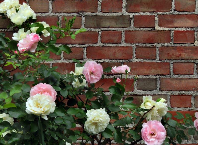 Rozen van roze en wit met baksteenachtergrond royalty-vrije stock foto