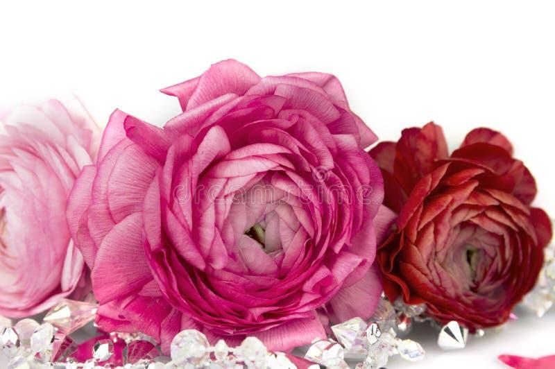 Rozerode Ranunkeln-geïsoleerde de lente bloeiende bollen royalty-vrije stock foto