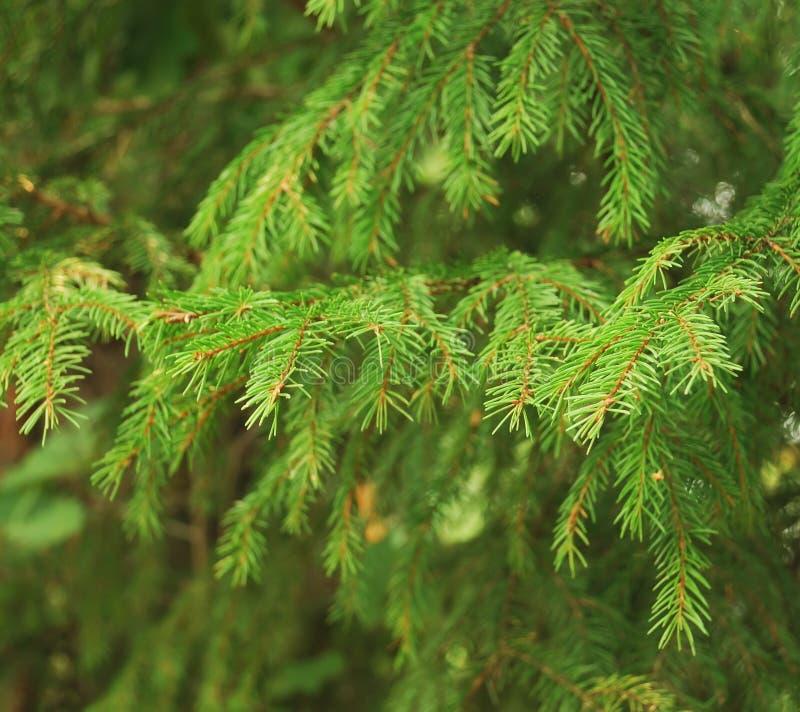rozgałęzia się jedlinowego drzewa fotografia stock