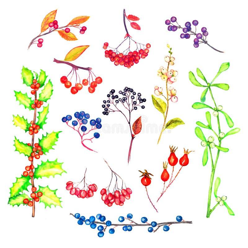 Rozgałęzia się kolekcję z jagodami i liśćmi odosobnionymi na białej akwareli, ilustracja wektor