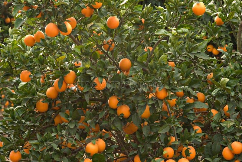 rozgałęzia się pomarańcze dojrzałe zdjęcie stock