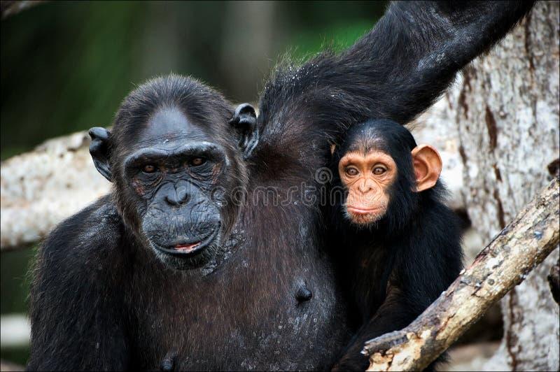 rozgałęzia się szympansa lisiątka mangrowe zdjęcie royalty free