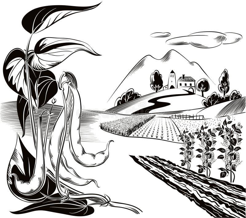 Rozgałęzia się z kilka strąkami fasolki szparagowe i kolor żółty kultywujący wh ilustracji