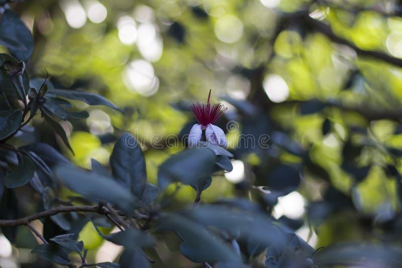 Rozgałęzia się z kwiatami i pączkami na feijoa drzewie zdjęcie royalty free