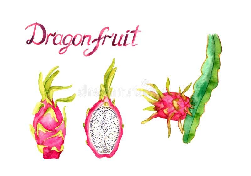 Rozgałęzia się z smok owoc, całą owoc i rżniętym przyrodnim plasterkiem, ręka malująca akwareli ilustracja z inskrypcją odizolowy ilustracja wektor