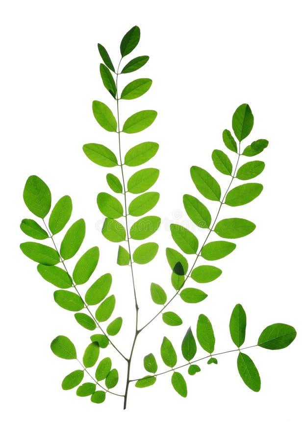 Rozgałęzia się z zielonym liściem Akacjowa lub Czarna szarańcza zdjęcie stock