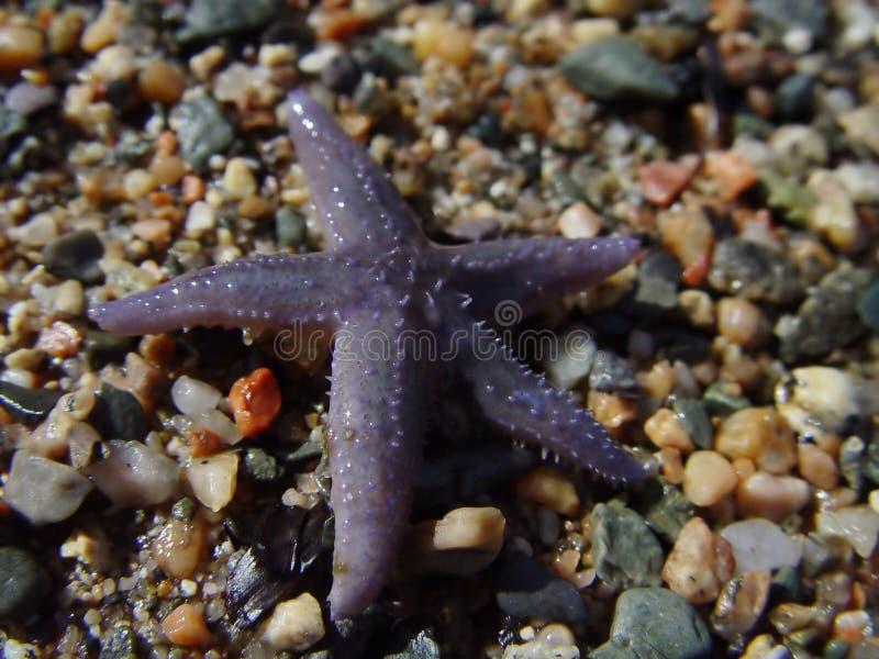 rozgwiazda plażowa zdjęcie stock