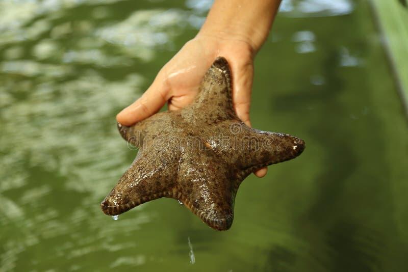 Rozgwiazda w istocie ludzkiej oddawał rybiego staw obrazy stock