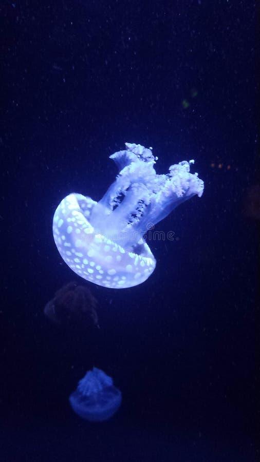 rozjarzeni jellyfish obraz royalty free