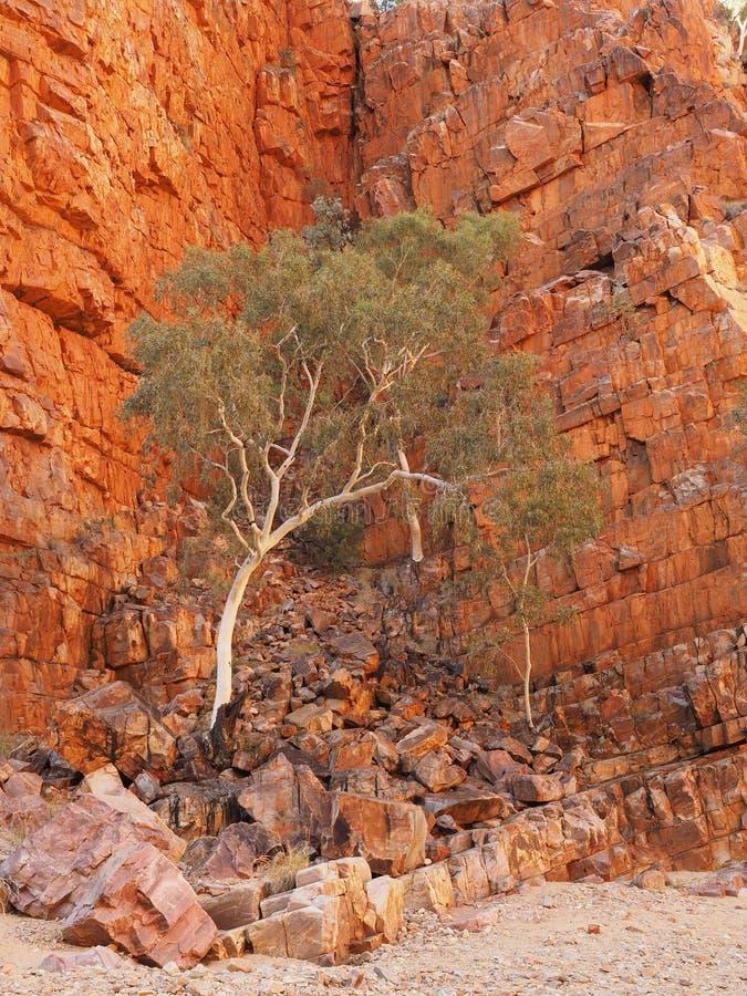 Rozjarzona skały ściana, drzewo przy Ormiston i Walimy zdjęcia royalty free