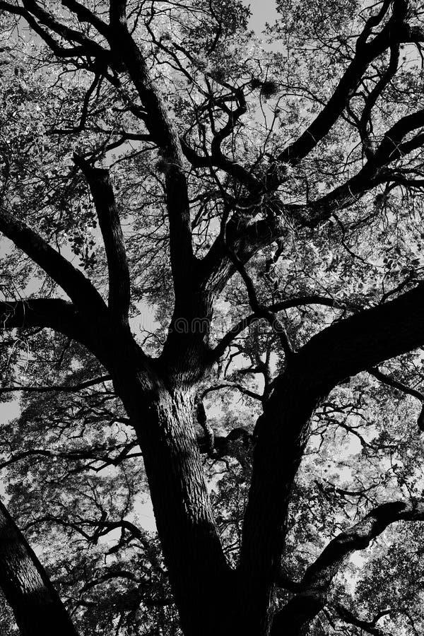 Rozkładać się dębowy drzewo w czarny i biały zdjęcie royalty free