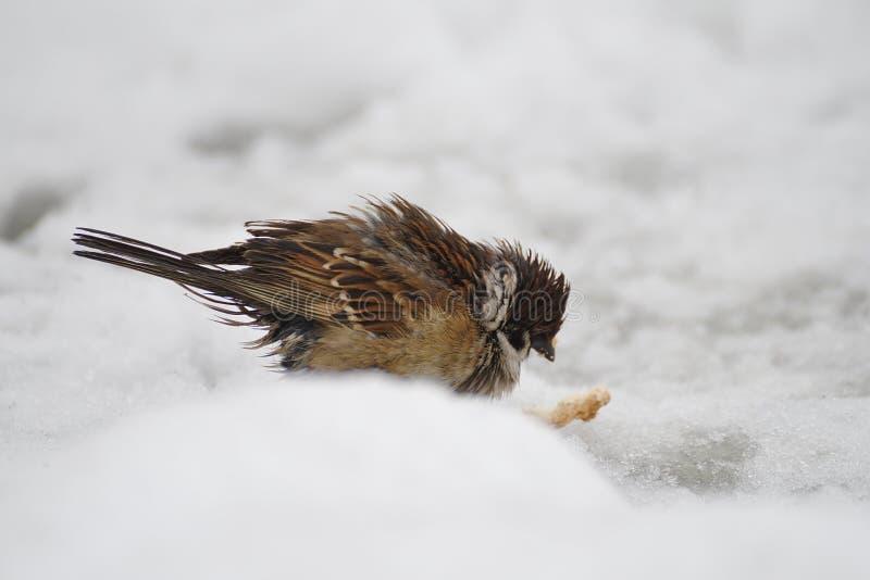 Rozkudłany marznący ptasi wróbel w śniegu i plasterek chleb zdjęcie royalty free