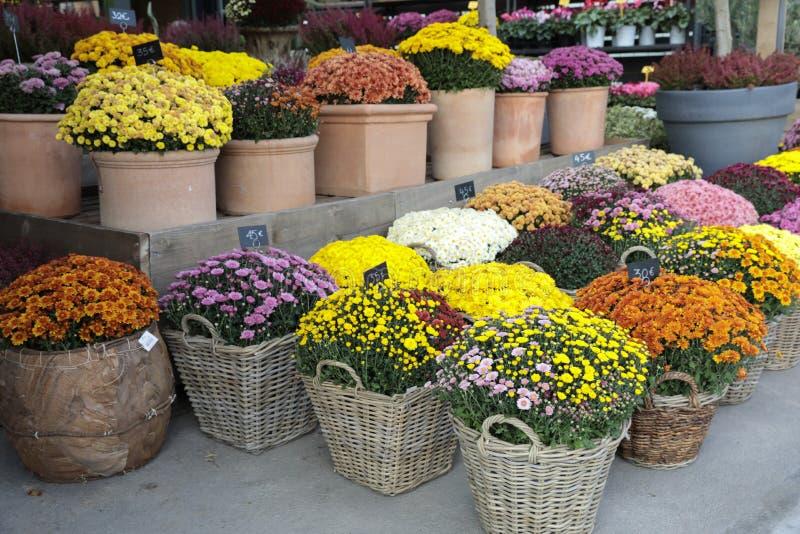 Rozmaitość doniczkowa chryzantemy roślina w kwiatu barze zdjęcie stock