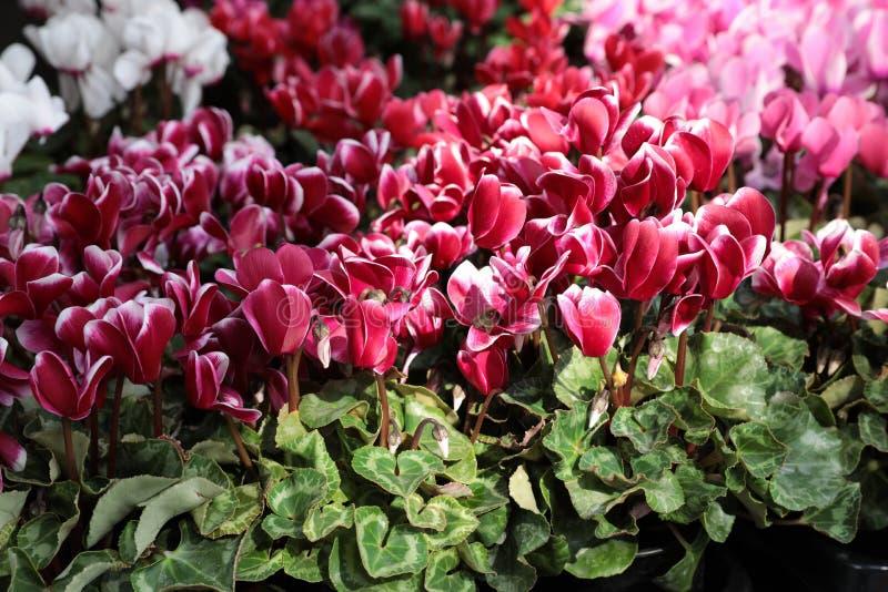 Rozmaitość doniczkowe cyklamenu persicum rośliny w kwiatu barze obrazy royalty free