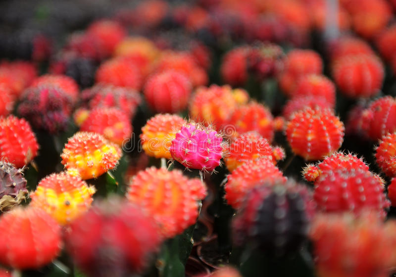 Rozmaitość Kaktus obraz stock