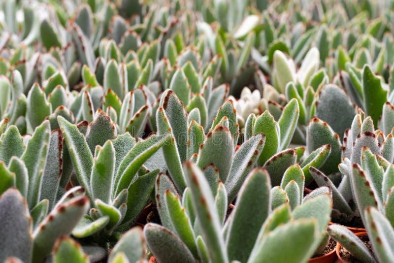 Rozmaitość kaktusowa roślina w garnku Zamyka w górę widok Selekcyjna ostrość fotografia royalty free