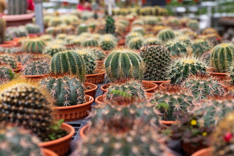 Rozmaitość kaktusowa roślina w garnku Zamyka w górę widok Selekcyjna ostrość obrazy stock