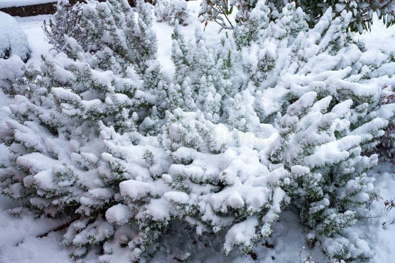 Rozmarynowy krzak w zimie zakrywającej z śniegiem zdjęcie royalty free