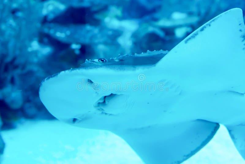 Rozmyta fotografia Shovelnose guitarfish Rhinobatos productus w dennym akwarium zdjęcie royalty free