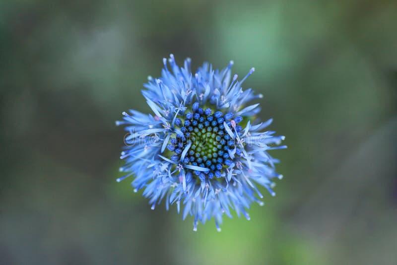 Rozmyty Chabrowy lub kawalery zapinamy kwiatu w śródpolnej miękkiej ostrości obrazy royalty free