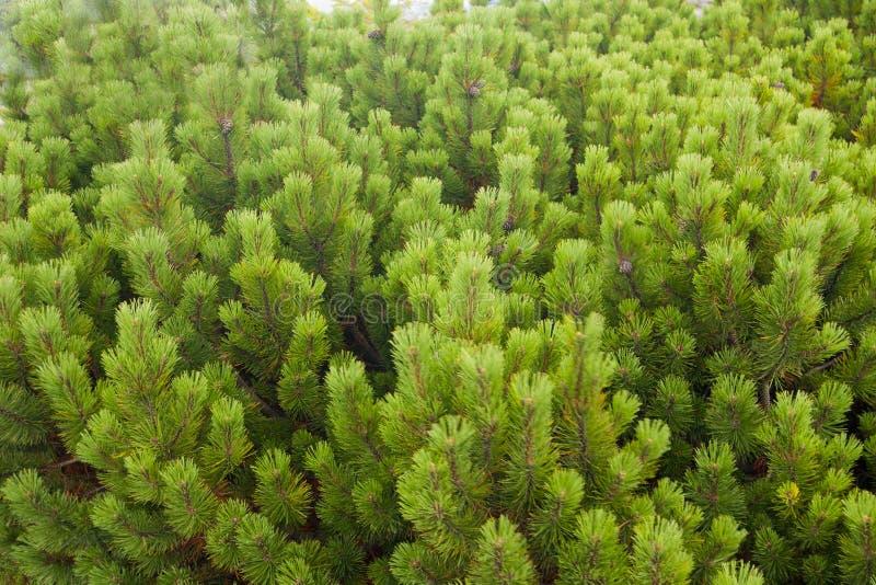 Rozochoceni drzewa zdjęcie royalty free