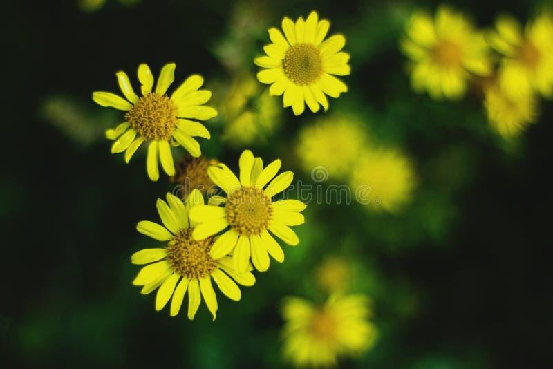 Rozochoceni i wibrujący żółci kwiaty zdjęcie royalty free