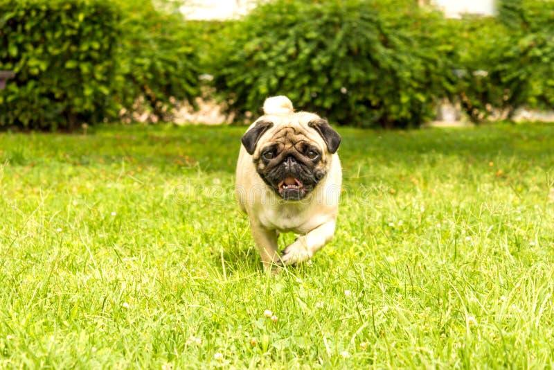Rozochocony mopsa psa bieg przez zielonej trawy zdjęcia stock
