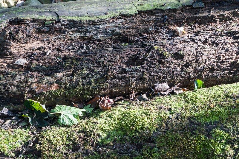 Rozpady pnia łamanego leżące na zdrowych drzewach obraz stock