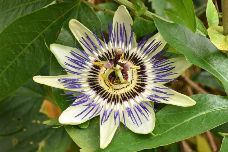 Rozpieczętowany Wibrujący Pasyjny kwiat perfect w wszystkie swój chwale zdjęcia royalty free
