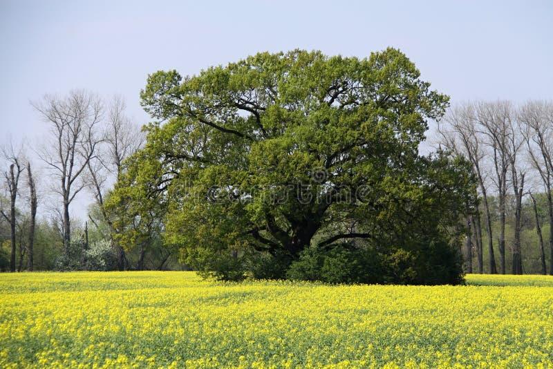 Rozprzestrzeniać starego drzewa po środku szwedzkiej rzepy pola zdjęcia royalty free