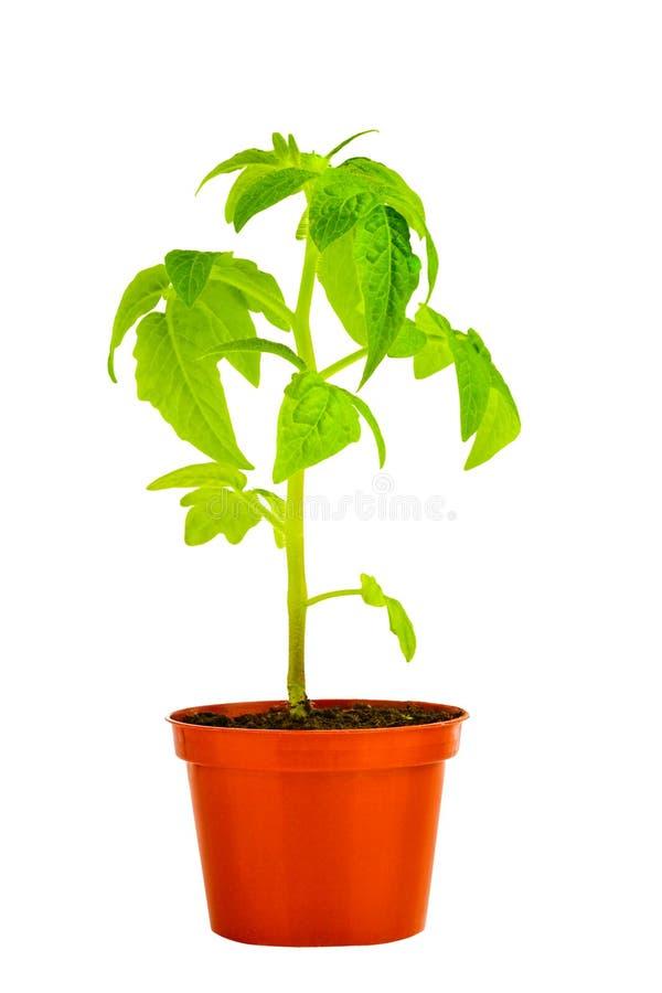 Rozsada młoda pomidorowa roślina w flowerpot odizolowywają na bielu obraz stock