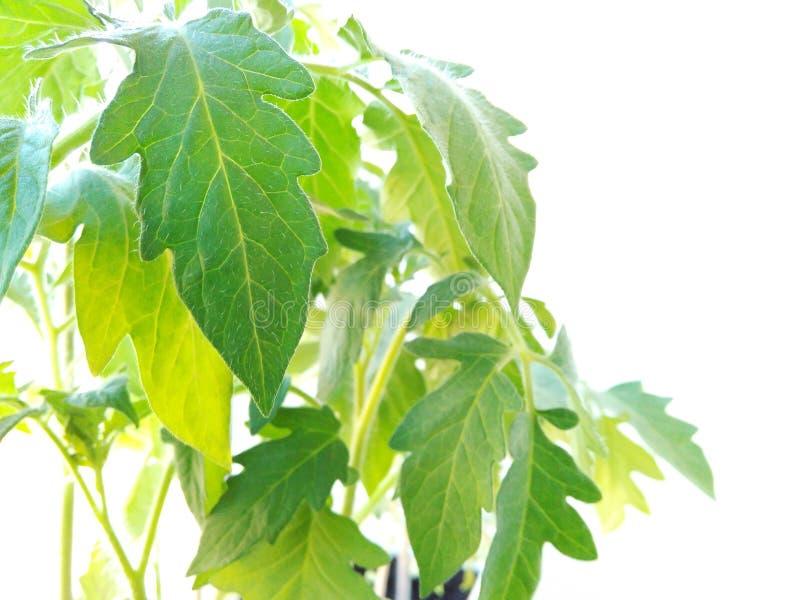 Rozsada Pomidorowe rośliny Odizolowywać na Białym tle obrazy royalty free