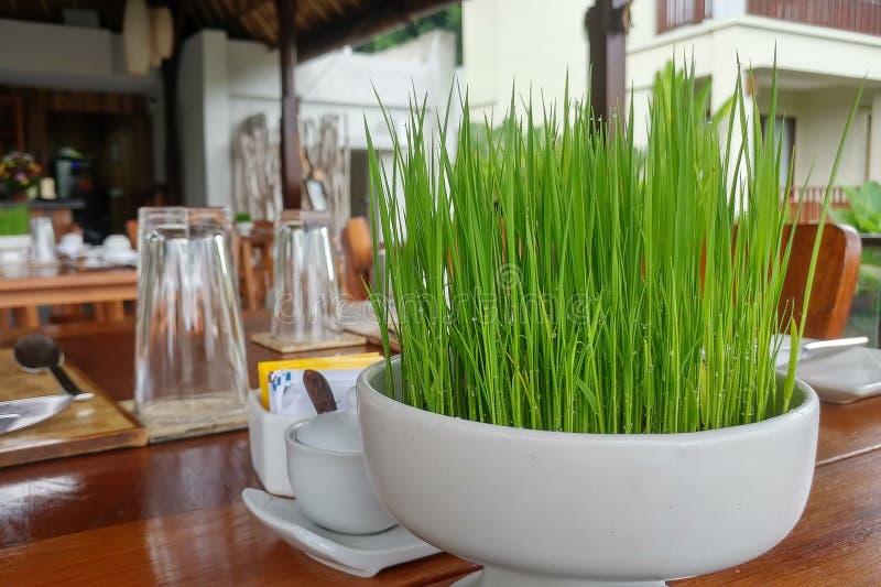 Rozsadowi ry? w round bia?ym garnku na drewnianym stole w tropikalnej kawiarni ?yje zielonej soczystej trawy w pucharze z raindro fotografia royalty free