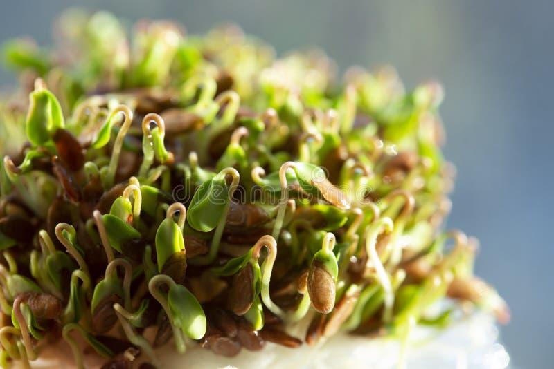 Rozsady flaxseeds zdjęcie stock