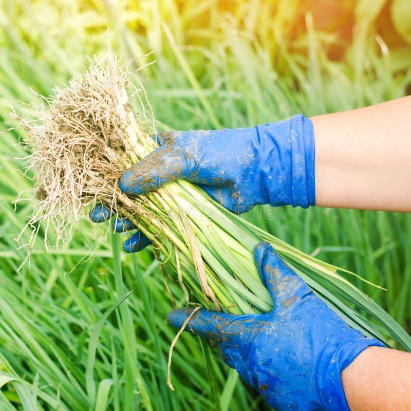 Rozsady leeks przygotowywaj? dla zasadza? w polu Rolnictwo, warzywa, organicznie produkty rolni, przemys? obrazy stock