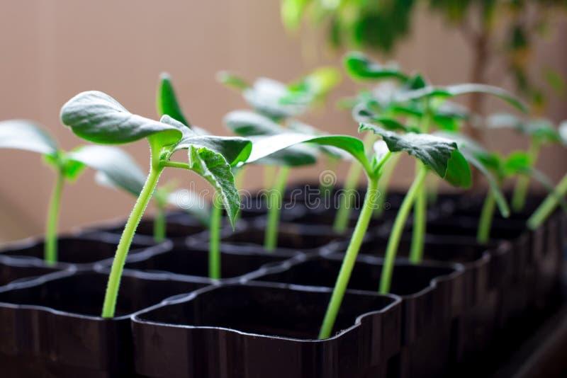 rozsady ogórki, małe flance w czarnych garnkach, zielone młode rośliny fotografia stock