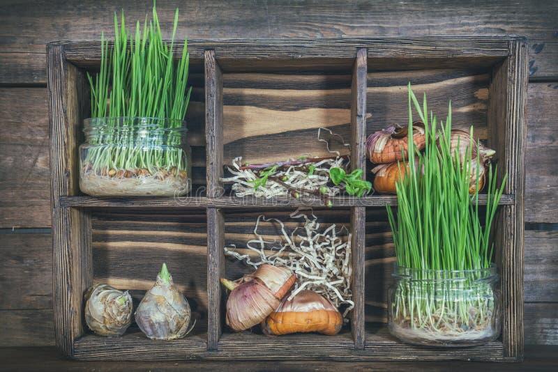 Rozsady, ogrodowi narzędzia i żarówki w drewnianym pudełku, obraz stock