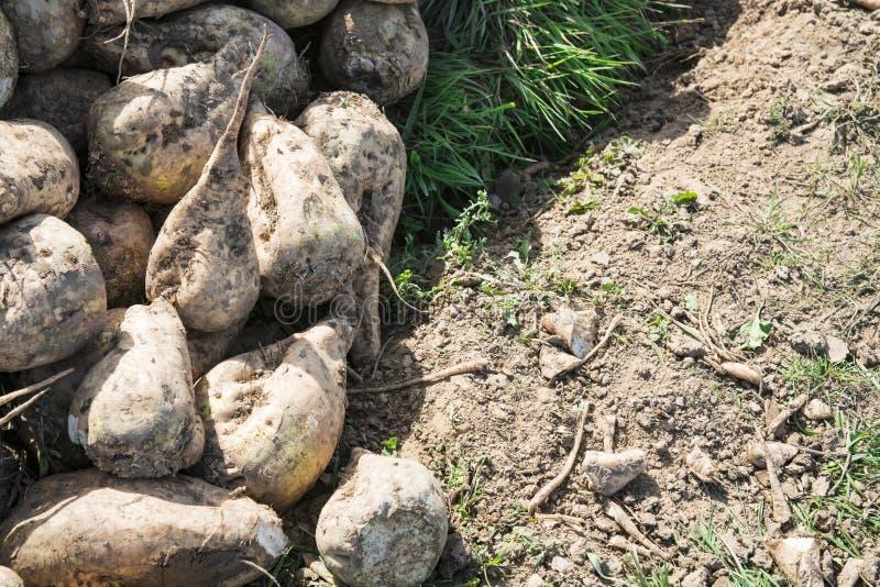 Rozsypisk sugarbeets zdjęcie stock
