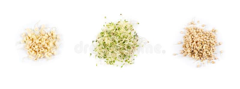 Rozsypisko groch kiełkuje, kiełkował alfalfa ziarna i kiełkował gryki, mikro zielenie na białym tle Symbol zdrowie zdjęcie royalty free