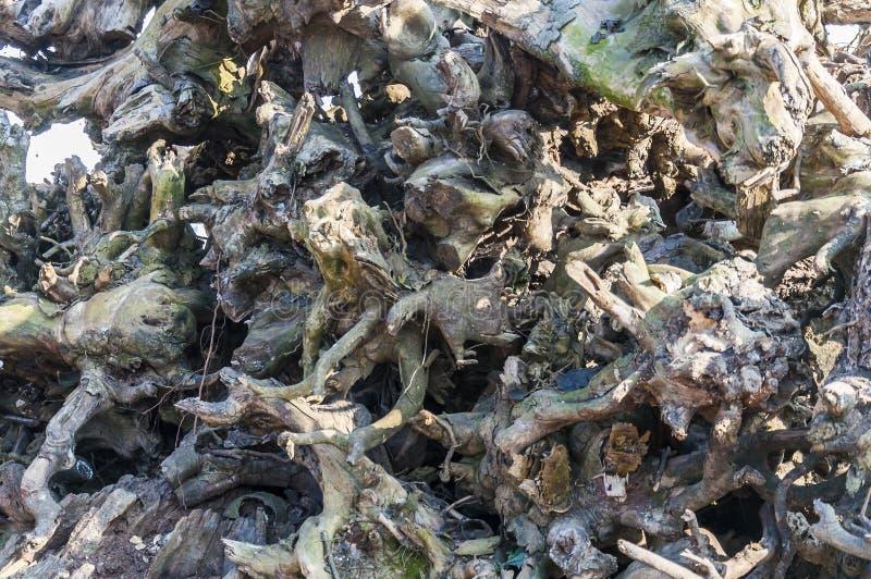 Rozsypisko wykorzeniający, susi herbaciani krzaki, zakorzenia w Munnar obrazy stock