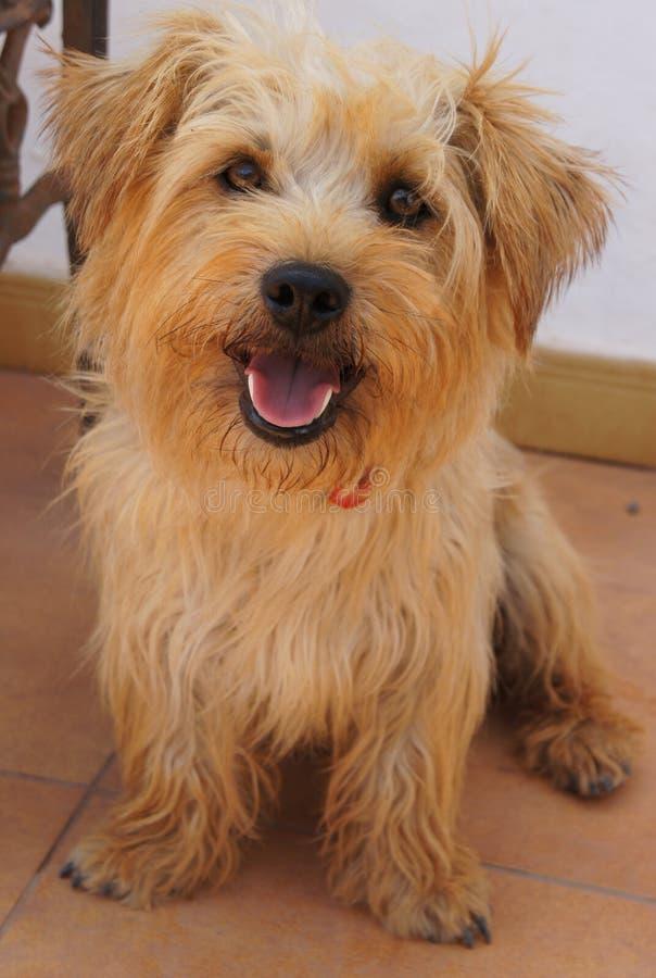 Roztoka Imaal Terrier mieszający traken fotografia royalty free