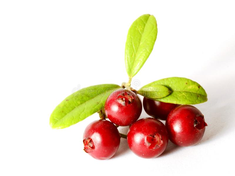 Fresh ripe cranberries or cowberries on white with leaves stock image