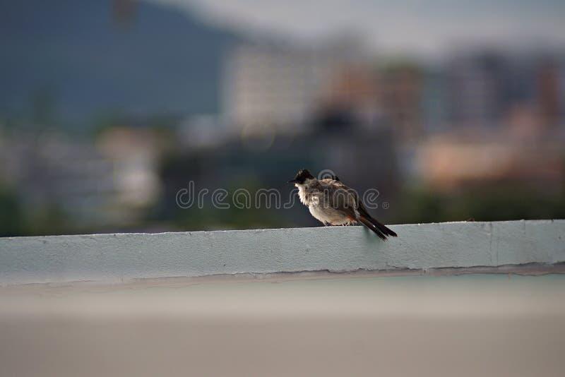 Rußiger vorangegangener Bulbul-Vogel lizenzfreies stockfoto