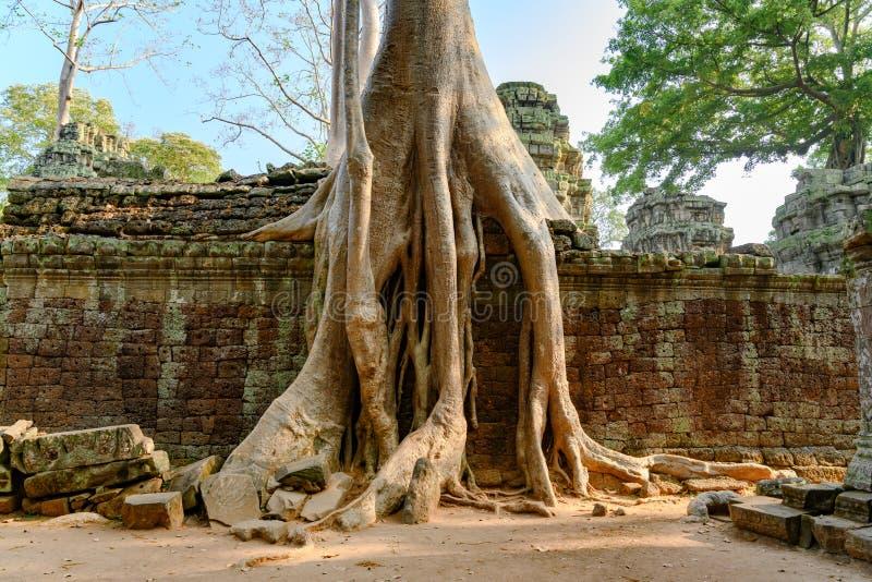 Ruínas cobertos de vegetação no templo de Ta Prohm, Angkor, Siem Reap, Camboja Raizes grandes sobre as paredes de um templo fotografia de stock
