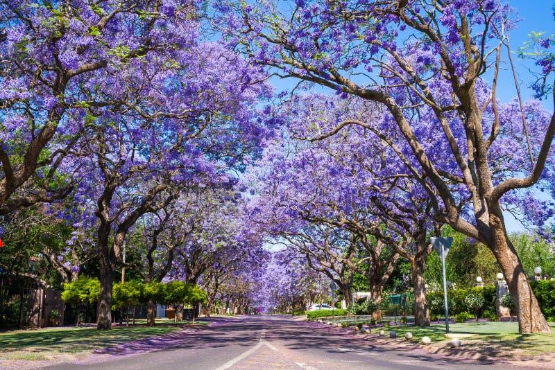 Rua em Pretoria com árvores do Jacaranda fotografia de stock